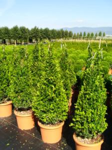 Buxus Microphylla Faulkner cono H100/120 25Lt