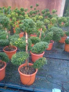 Ilex Crenata Glory Gem bonsai H90/100 25Lt