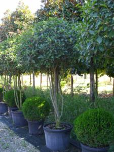 Photinia X Fraseri Red Robin multistem+ombrello H200/250 110Lt